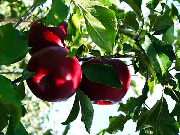 Prodala jabloň